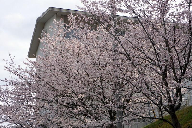 さくら咲く2016-007.jpg